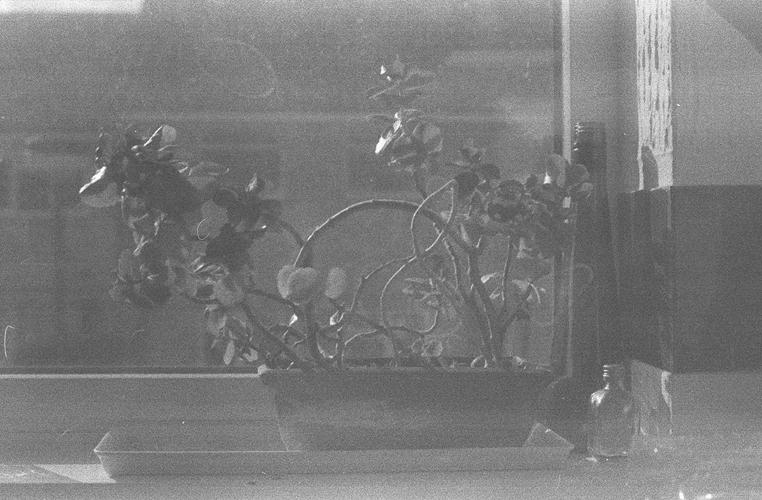windowsil plant